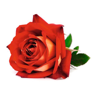 Rosa Mr. Lincoln